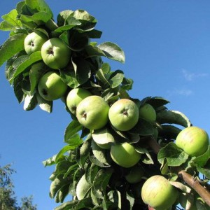 Саженец яблони Президент (колоновидной)