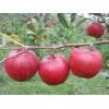 Саженец яблони Радогость: фото и описание