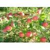 Саженец яблони Рождественское: фото и описание