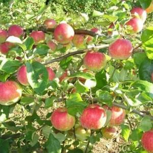 Саженец яблони Рождественское