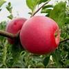 Саженец яблони Слава Победителям: фото и описание