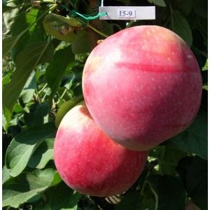Саженец яблони Валюта (колоновидная)