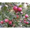 Саженец яблони Веньяминовское: фото и описание