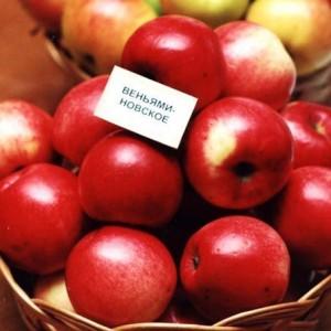 Саженец яблони Веньяминовское