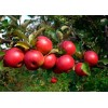 Саженец яблони Заветное: фото и описание