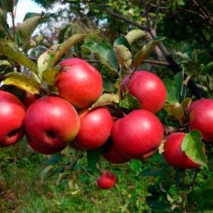 Саженец яблони Заветное