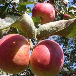 Саженец яблони Жигулевское