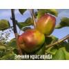 Саженец яблони Зимняя красавица: фото и описание