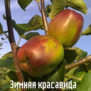 Саженец яблони Зимняя красавица