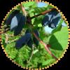 Саженец жимолости Чулымская: фото и описание