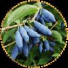 Саженец жимолости Голубое Веретено: фото и описание