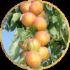 Саженец  абрикоса колоновидного Принц Март: фото и описание