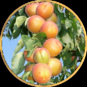 Саженец  абрикоса колоновидного Принц Март