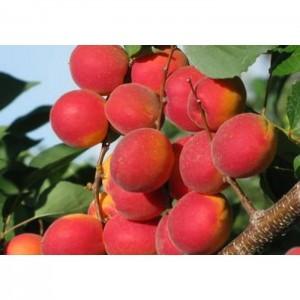 Саженец абрикоса Саратовский рубин
