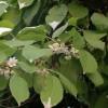 Саженец актинидии мужской Вейки: фото и описание