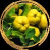 Саженец айвы яблоковидной лимонно-жёлтой Медаль: фото и описание