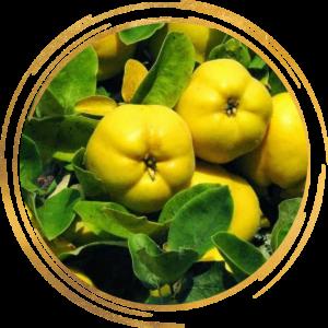 Саженец Айвы яблоковидной лимонно-жёлтая Медаль