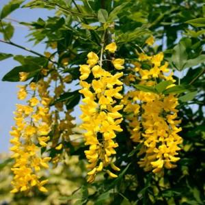 Саженец бобовника Анагиролистного ( Золотой дождь)