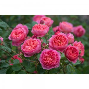 Роза парковая Леонардо да Винчи