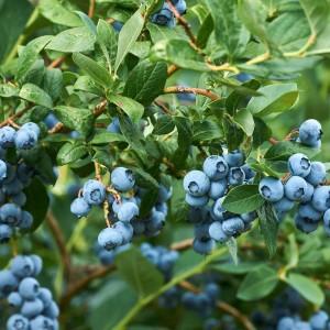 Голубика оптом (от 200 шт.)
