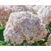 Гортензия древовидная Candybelle Marshmallow