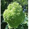 Гортензия древовидная Lime Rickey (Лайм Рики)
