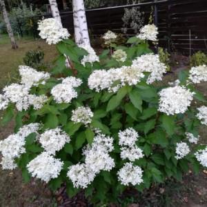 Гортензия метельчатая Prim White