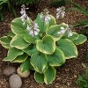 Саженец хосты Фрагрант Букет (Fragrant Bouquet): фото и описание