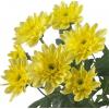 Саженец хризантемы Балтика: фото и описание