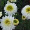 Саженец хризантемы Инга: фото и описание