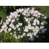 Саженец хризантемы мультифлора Сибирская: фото и описание