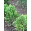 Саженец кипарисовика Лавсона (сеянец): фото и описание
