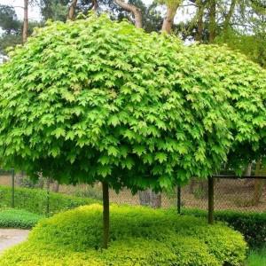Саженец клёна остролистного (до 100 см)