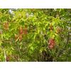 Саженец Клена Ясенелистный ( сеянец от 15 см): фото и описание