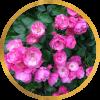 Комплект 3 саженца Роза Ангела (штамбовая): фото и описание