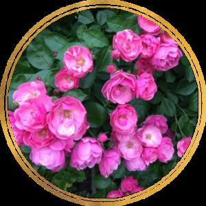 Комплект 3 саженца Роза Ангела (штамбовая)