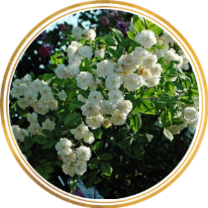 Комплект 3 саженца Роза Франсин Остин (штамбовая)