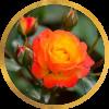 Комплект 3 саженца Роза Румба (штамбовая): фото и описание