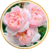 Комплект 3 саженца Роза Шарифа Асма (штамбовая): фото и описание
