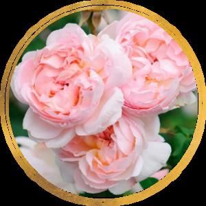 Комплект 3 саженца Роза Шарифа Асма (штамбовая)