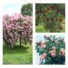 Комплект Р3-3 саженца (Штамбовые розы Априкола, Белла Вита, Блэк Баккара): фото и описание