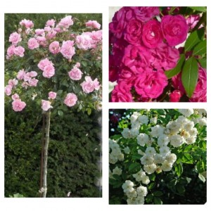 Комплект Р4-3 саженца (Штамбовые розы Боника, Динки, Франсин Остин)