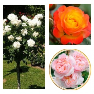 Комплект Р6-3 саженца (Штамбовые розы Румба, Аннапюрна, Шарифа Асма)