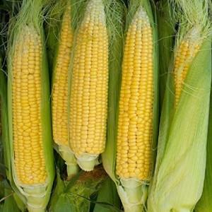 Семена кукурузы Попкорн Сахарок