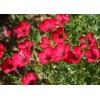 лен иллюзия крупноцветковый красный арт. 5718