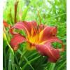 Саженец лилейника Отум Ред ( Autumn Red): фото и описание