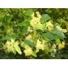 Саженец липы Мелколистной сеянец ( 10-20 см): фото и описание
