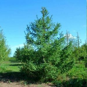 Саженец Лиственницы Сибирской сеянец ( 10- 20 см)