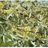 Саженец лоха серебристого: фото и описание