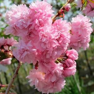 Саженец Магнолии гибридной розовой с белым Джордж Генри